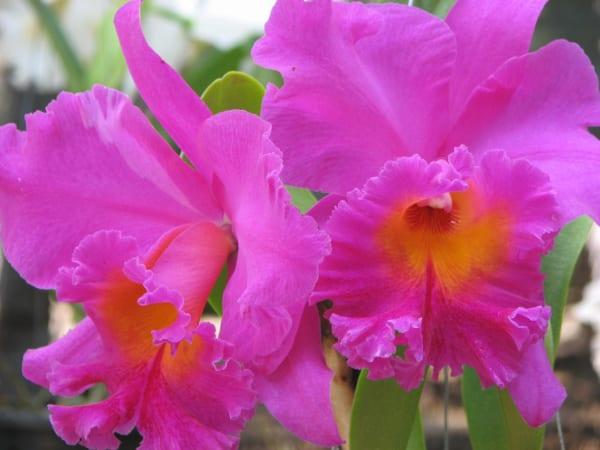 カトレア 花言葉4