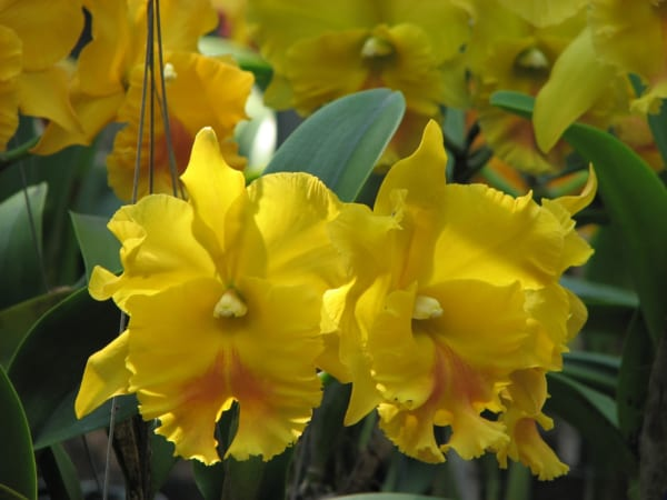 カトレア 花言葉5