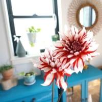 【ダリアの花言葉】存在感のある華麗な花に込められた意味を解説
