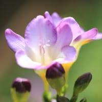 【フリージアの花言葉】色それぞれに込められた意味を解説