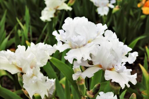 白の花言葉 アイリス
