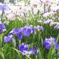 【あやめの花言葉】ガーデニング初心者でも育てやすい馴染みの花の意味と由来を解説