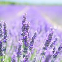 【ラベンダーの花言葉】ハーブの女王と呼ばれる香りが素敵な花に込められた意味を解説