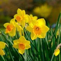 【水仙(スイセン)の花言葉】ギリシャ神話が関係する花の意味を解説