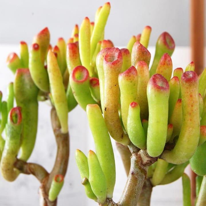 個性豊かな多肉植物2