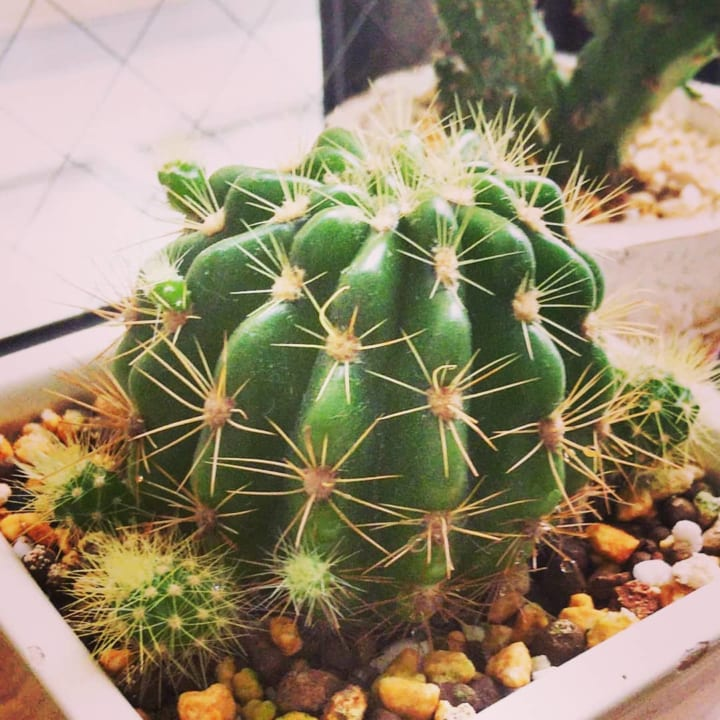 根強い人気を誇る多肉植物の定番「サボテン」