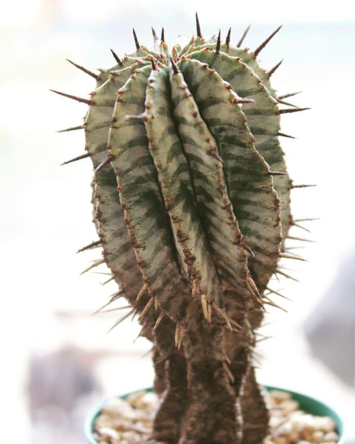 不思議な魅力あふれる多肉植物「ユーフォルビア」