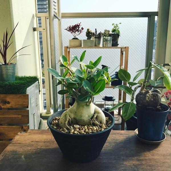 ユーモラスな形のアデニウムと塊根植物