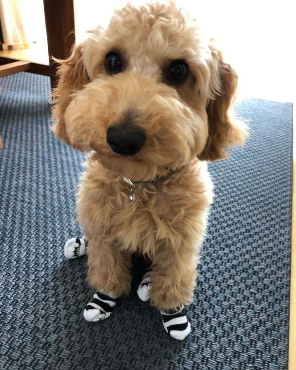 【ダイソー】DOGWARE犬の靴下