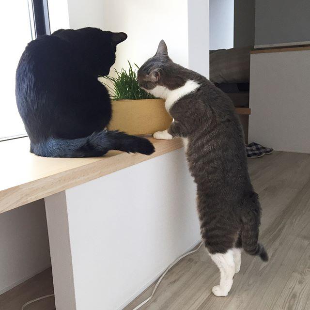 素敵なインテリアにもなる猫草