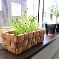 冬にも生き生きグリーンを楽しむ☆面白くてお得感のある豆苗の水耕栽培