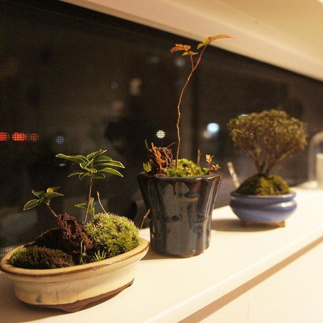 いろいろな鉢と樹を並べて