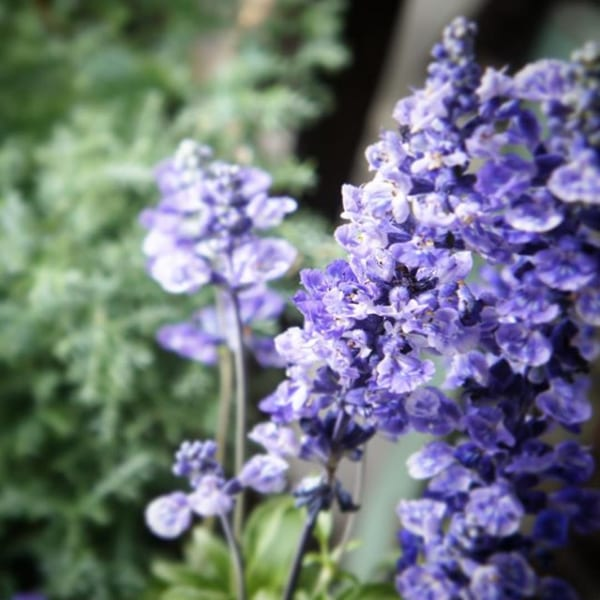 おすすめ夏の花②サルビア