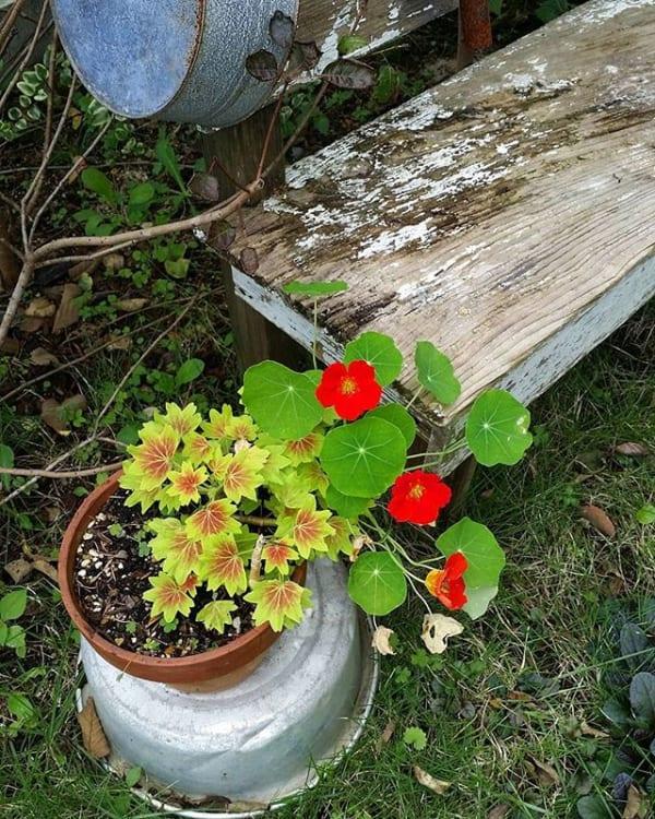 おすすめ夏の花④ナスタチウム