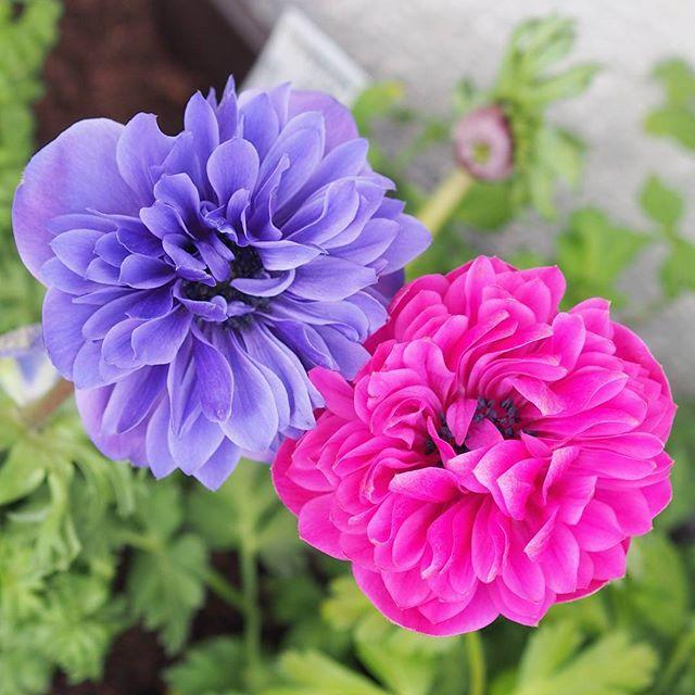 ガーデニングにおすすめの春の花8
