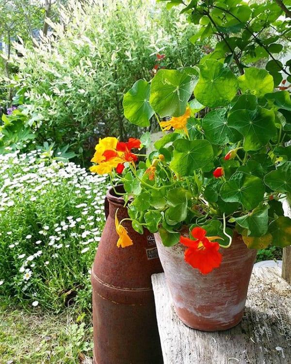 おすすめ夏の花ガーデニング実例④ナスタチウム