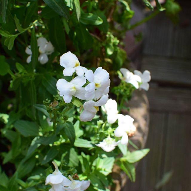 ガーデニングにおすすめの春の花5