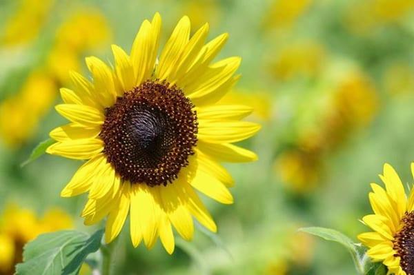 おすすめ夏の花③ひまわり