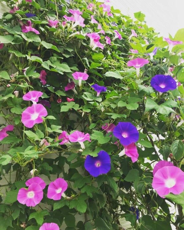 おすすめ夏の花ガーデニング実例⑤アサガオ