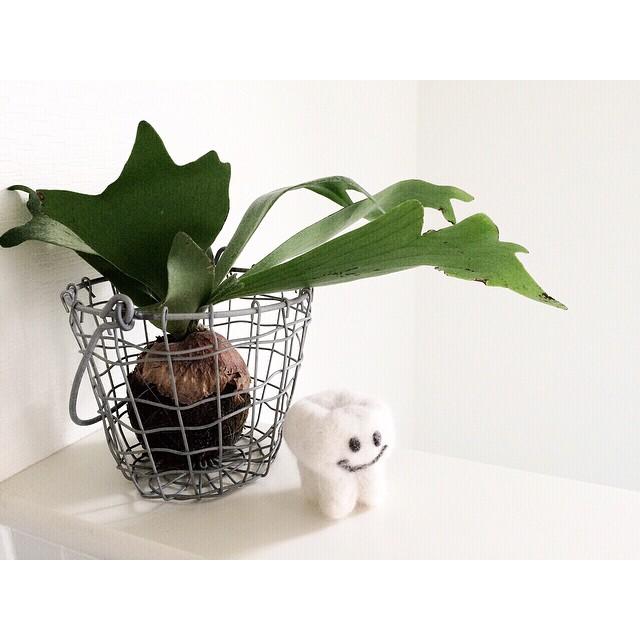 ワイヤーかごに植物を合わせてインテリアにs