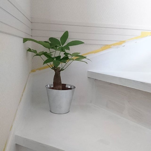 一人暮らしにおすすめの観葉植物《パキラ》3