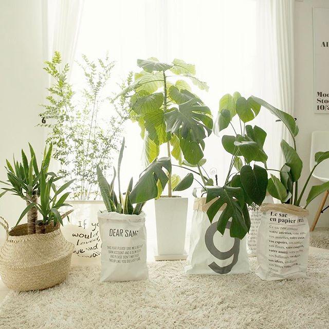 一人暮らしにおすすめの観葉植物《モンステラ》5
