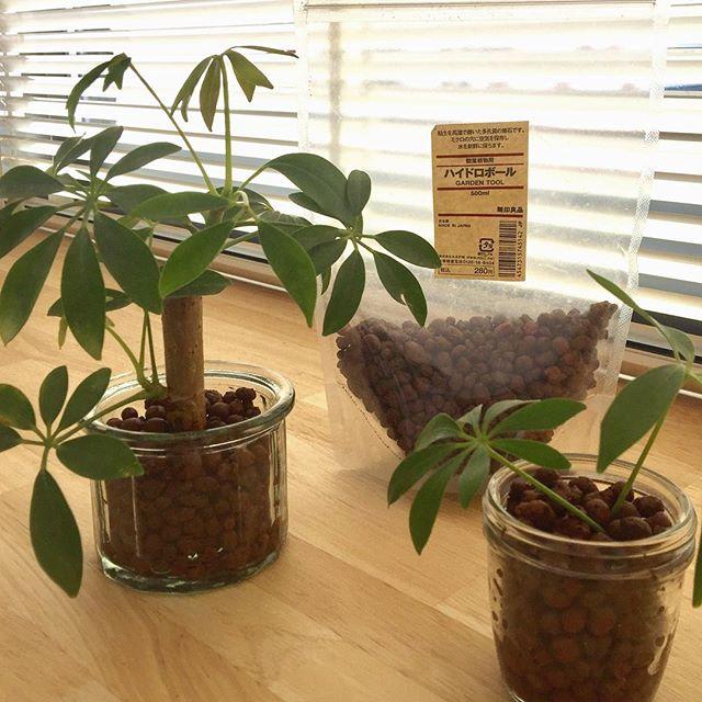 リビングにおすすめの観葉植物《パキラ》2