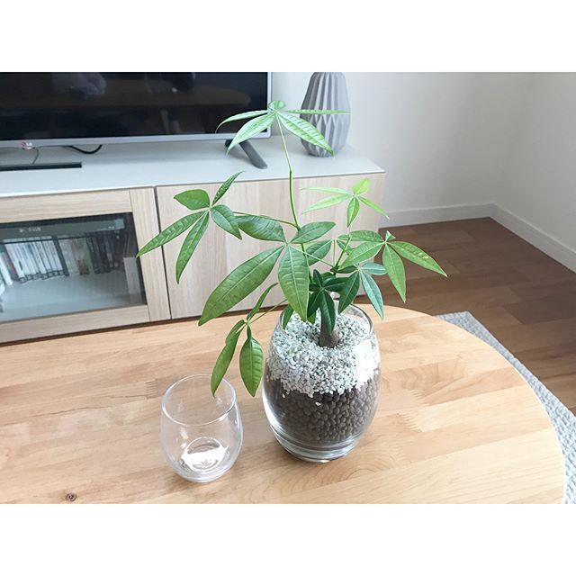 一人暮らしにおすすめの観葉植物《パキラ》2