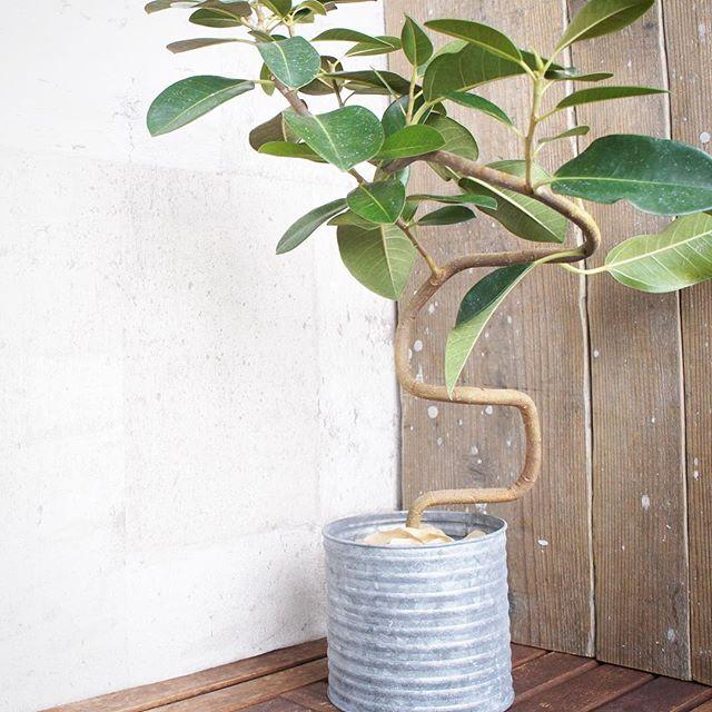 エントランスでも育ちやすい人気植物