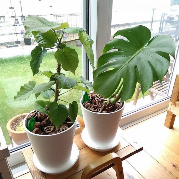 ダイソーの観葉植物