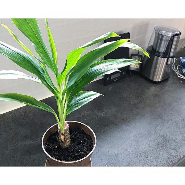 ダイソー 観葉植物3