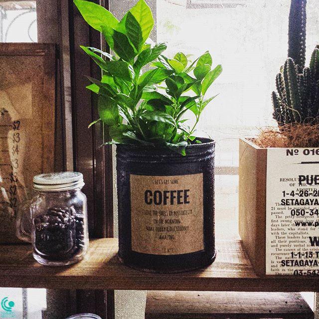 濃い緑の葉がおしゃれなコーヒーの木