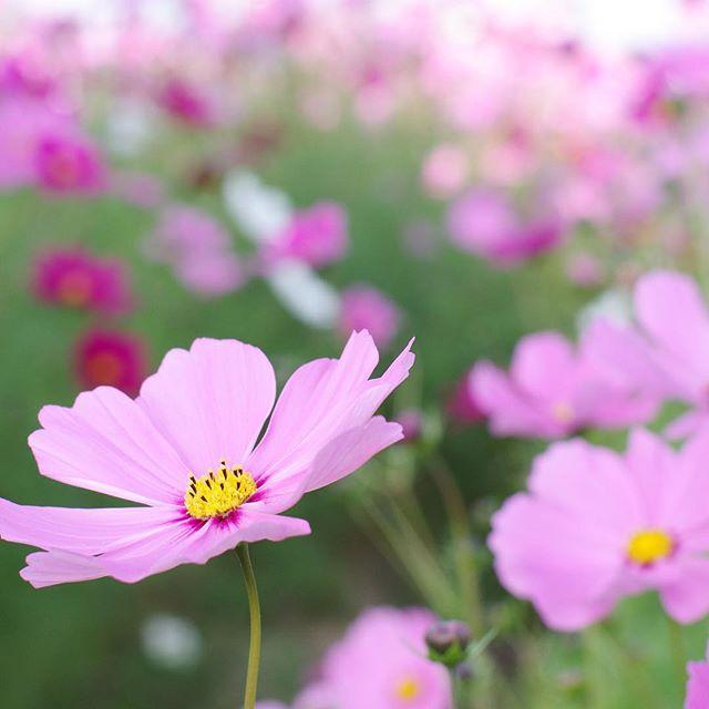 ガーデニングに人気な秋の花/コスモス