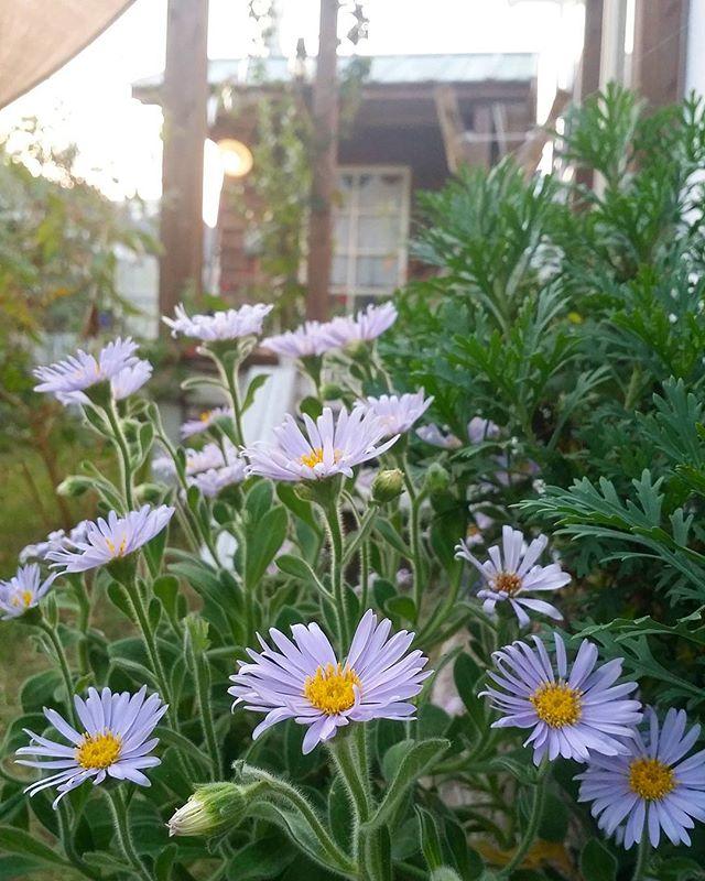 ガーデニングに人気な秋の花/ダルマギク