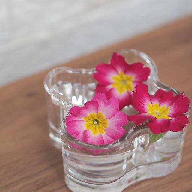 ガーデニングに人気な秋の花/プリムラ・ジュリアン
