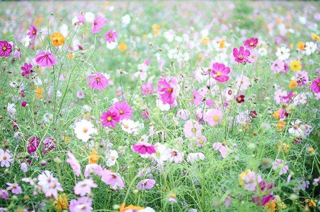 コスモスの人気園芸は花壇へのガーデニング