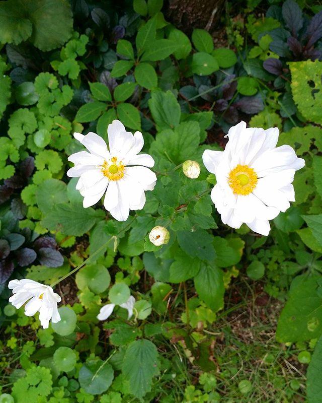 ガーデニングに人気な秋の花/秋明菊