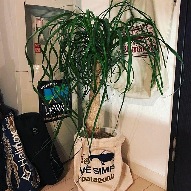 冬におすすめの観葉植物〈トリックラン〉