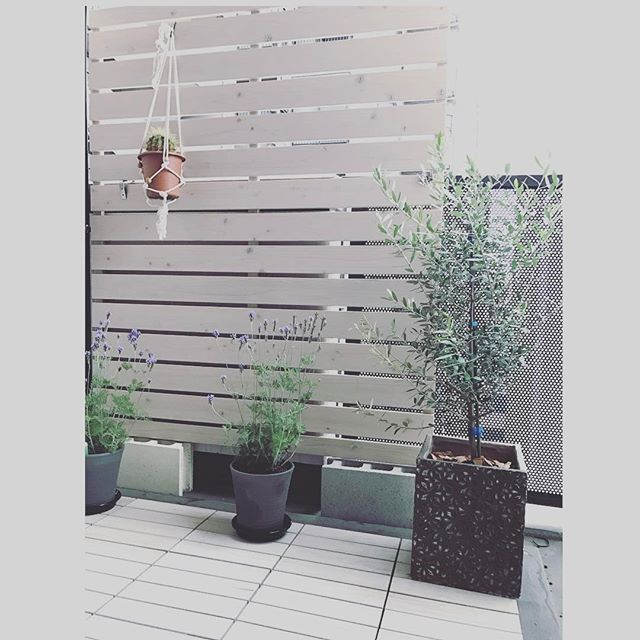 冬におすすめの観葉植物〈オリーブ〉