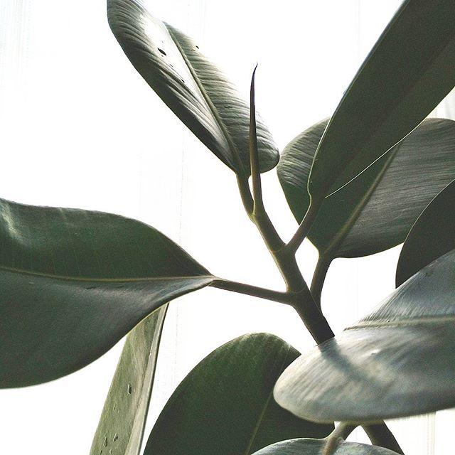 冬におすすめの観葉植物〈ゴムの木〉