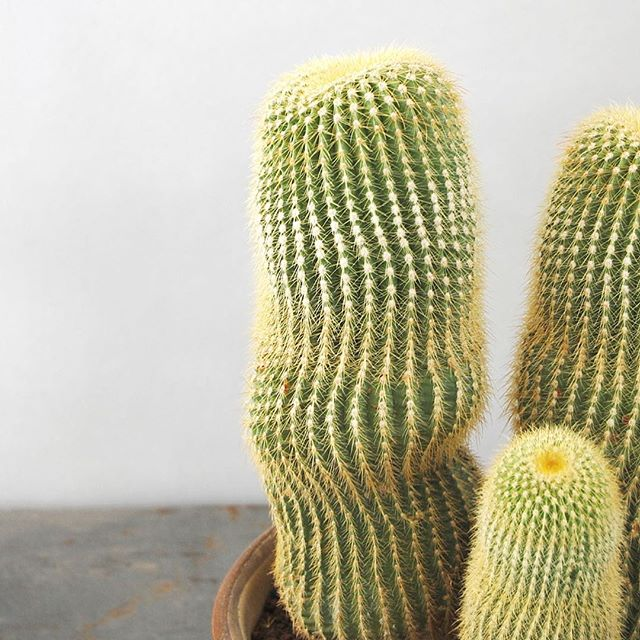 冬におすすめの観葉植物〈サボテン〉