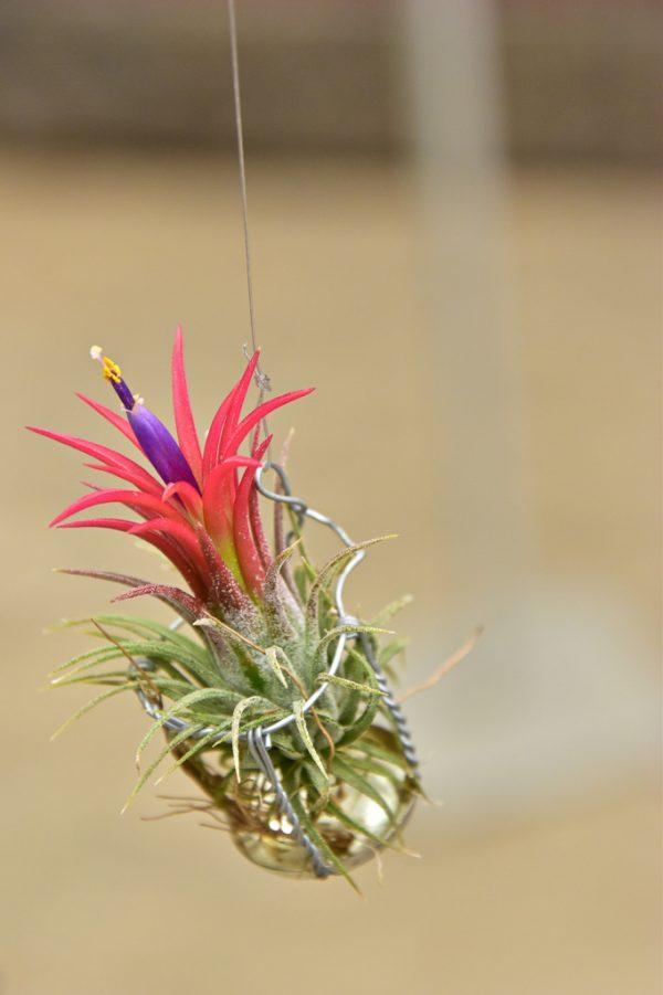 ・花を咲かせやすいもの(チランジア・イオナンタ)