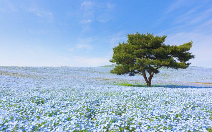 """ブルーで染まる""""ひたち海浜公園"""""""
