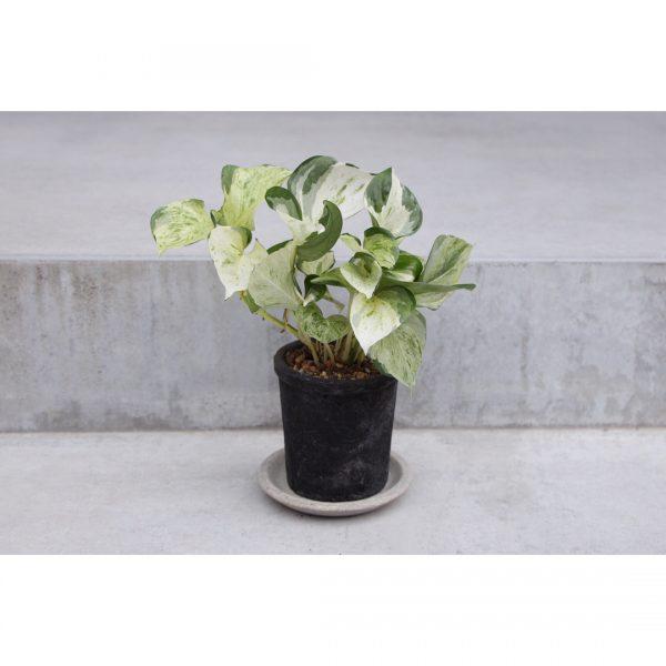 風水的に良い玄関におすすめの観葉植物5
