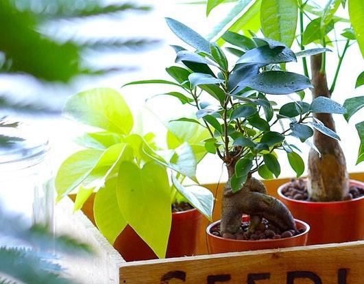 幸せを呼ぶ観葉植物ガジュマル