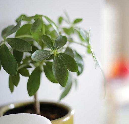 お風呂に置けるおすすめ観葉植物シェフレラ