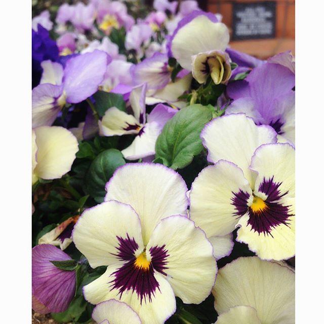 春の花の美しい和名「胡蝶菫」