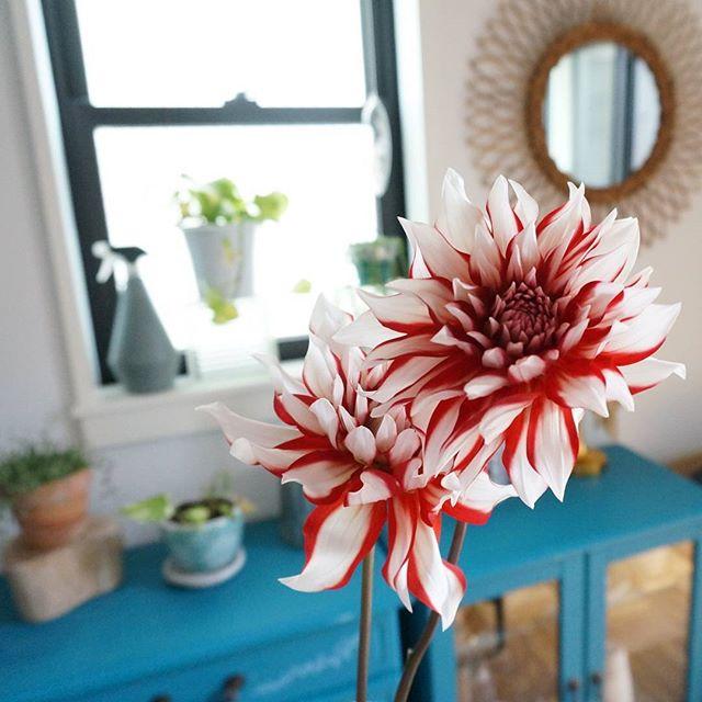 夏の花の美しい和名「天竺牡丹」
