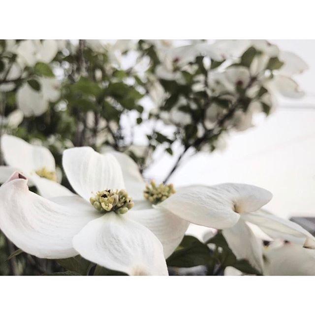 春の花の美しい和名「花水木」