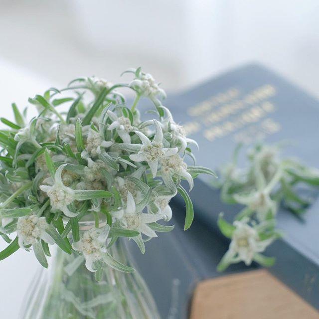 夏の花の美しい和名「花薄雪草」